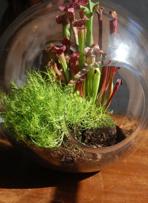 Оригинальная стеклянная ваза шар с плотоядными растениями