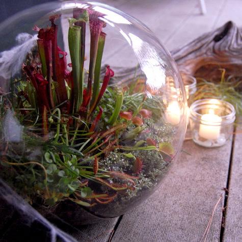 Оригинальный подарок мужчине - плотоядное растение